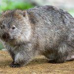 Ratio отговаря: Защо вомбатите са единствените известни животни с кубични изпражнения?