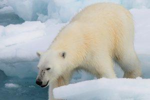 Ratio отговаря: Защо белите мечки всъщност не са бели?