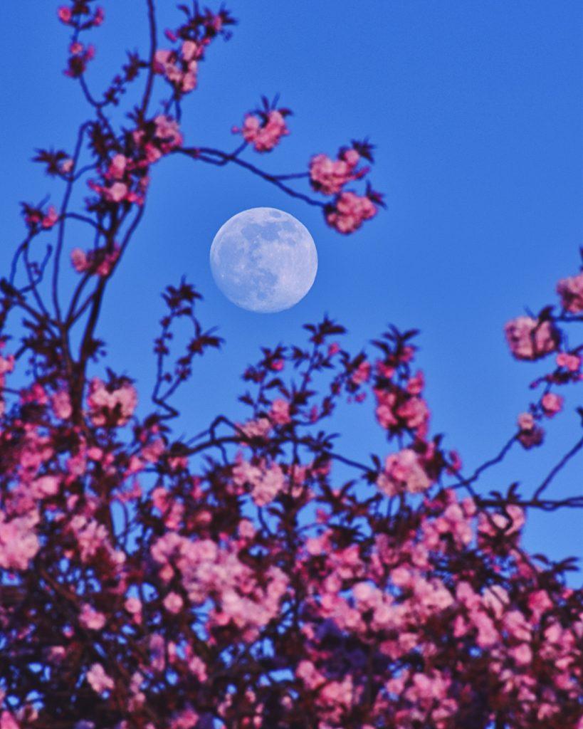 Розова Луна в перигей (Астрономическа снимка на деня – APOD)