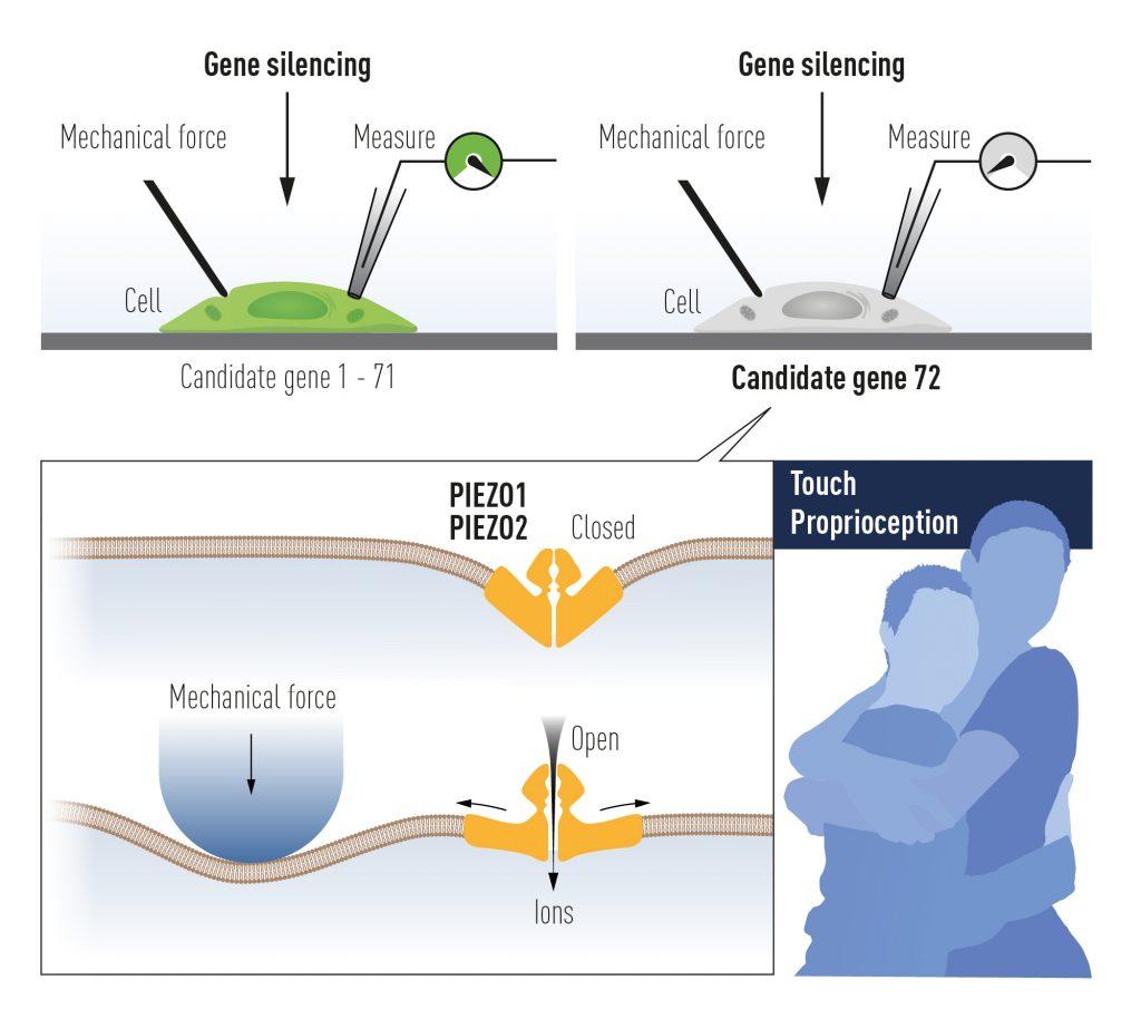 Нобеловата награда за медицина за 2021 г. е за откривателите на рецепторите за температура и допир (видео)